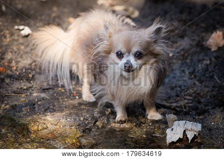 Small chihuahua walking in the woods by the creek