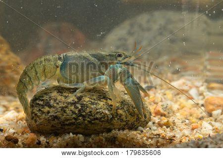 European Broad-fingered Crayfisch