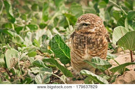 side view of brown burrowing owl standing on the sand against green vegetation
