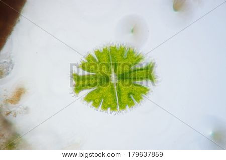 Micrasterias is a unicellular green alga under microscope view