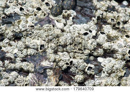 Closeup of dead barnacles on a rock