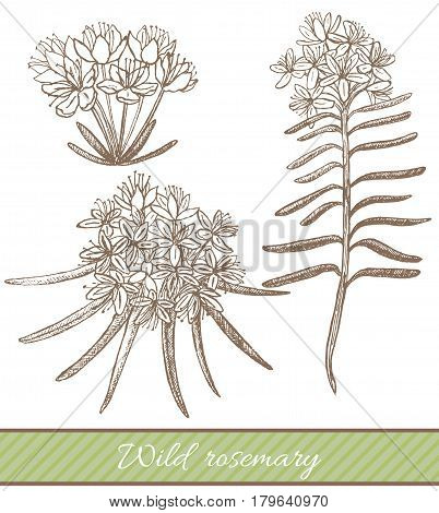 vector hand drawn isolated illustration of wild rosemary
