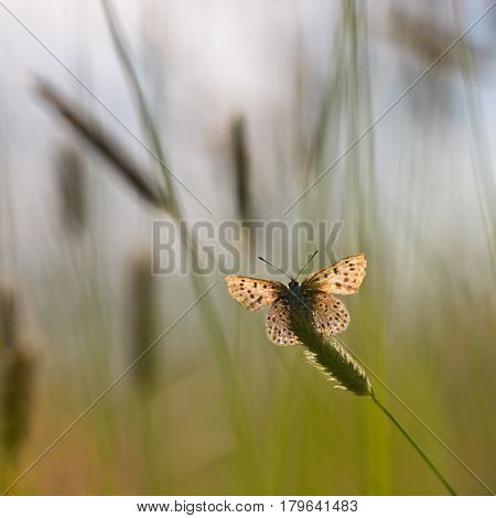 Back Lit Sooty Copper Butterfly
