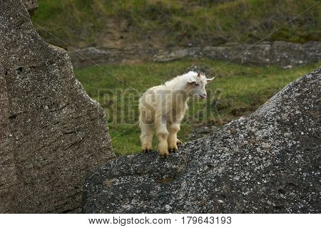 Cute Young Little white goatling with horns bleating and climbing on the rock.