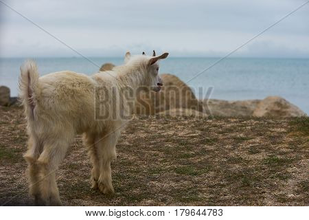 White little wild mountain horned goatling standing and Bleating on the gray rock under the bright sunlight near the blue sea.