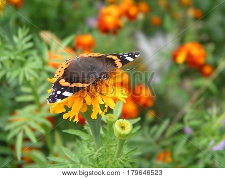 Butterfly monarch collects nectar from marigolds. Background for computer or mobile with beautiful butterfly on yellow colors. The butterfly opened its wings.