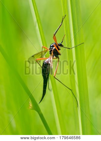 Ichneumon wasp insect on bright Green background