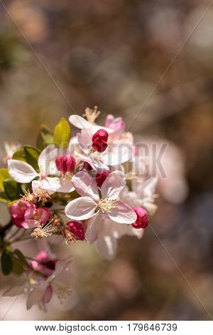 Pink Flower Blossoms On An Apple Tree