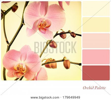 Pink orchids filtered to look like an old photograph. In a colour palette with complimentary colour swatches.