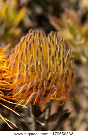 Goldfinger Pincushion Protea Flower