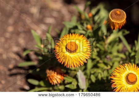Jumbo Yellow Strawflower Called Bracteantha