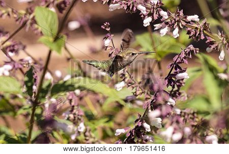 Male Annas Hummingbird, Calypte Anna