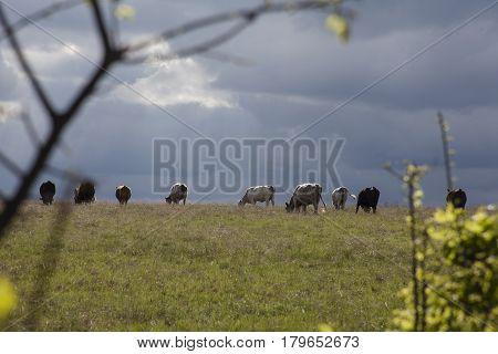 A herd of cattle grazing hillside on a Texas ranch