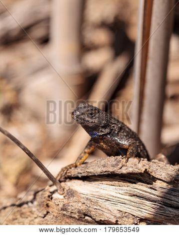 Western Fence Lizard Called Sceloporus Occidentalis