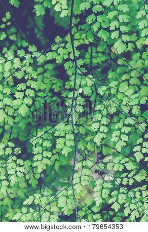 background nature. Natural background Maidenhair ferns green