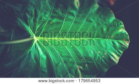 Natural background of green leaves. Background leaves green. elephant ear plant leaves