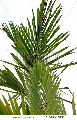 Natural background Palm. Cyrtostachys renda Blum leaves. White background