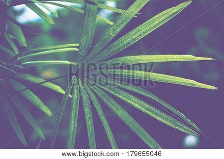 Natural background green leaves. sunlight leaf. Rhapis excelsa