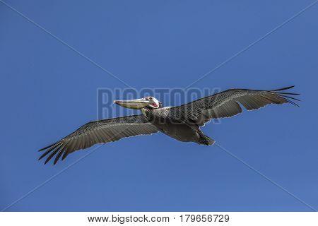 Brown Pelican In Flight - La Jolla, California