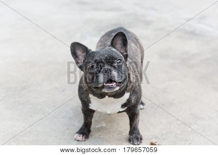 French Bulldog Sitting On Floor. French Bulldog Waiting For Owner To Play With A Ball.