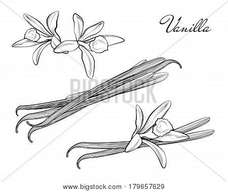 Vanilla Pods Or Sticks Hand Drawing Sketches Isolated On White Background. Vanillas Doodle Spicy Her