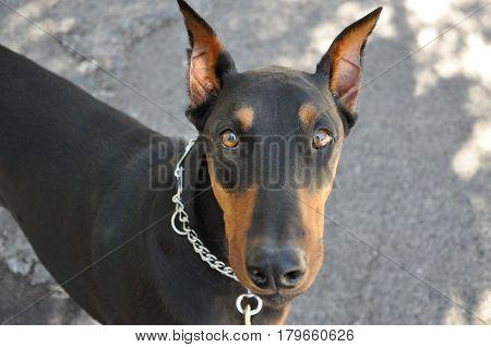 Cute face of a doberman pinscher dog.