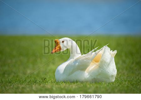 White Chinese Goose also known as Swan Goose (Anser cygnoides) sitting in green grass by lake