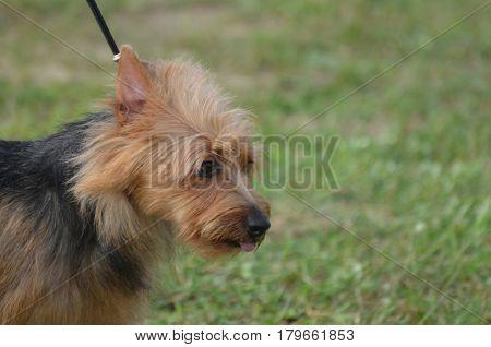 Fluffy and scruffy Australian terrier dog on a leash.