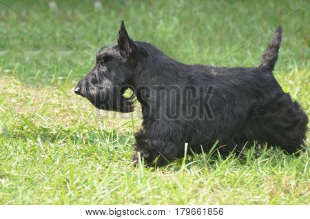 Great side profile of a Scottish terrier dog.