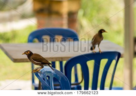 Myan birds perched on blue plastic chairs in a open restaurant searching for food.