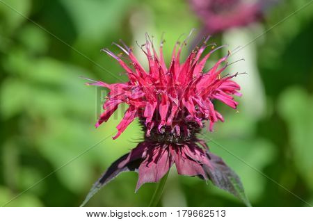 Pretty blooming red bee balm flower blossom.