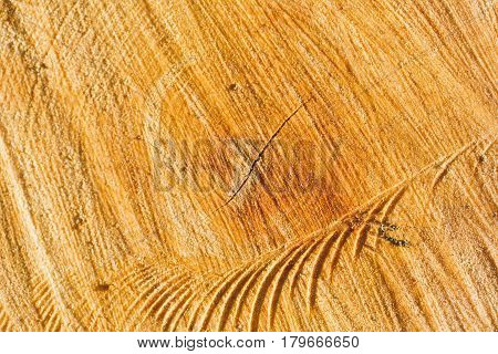 Wood texture, tree rings with tar, logs, sawed wood view from above. Sawn end of fir tree background with resin drops at sunny day