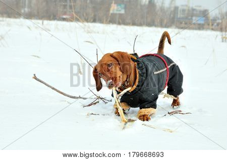 A dog dachshund gnaws a stick. The dog is dressed in a winter overall.
