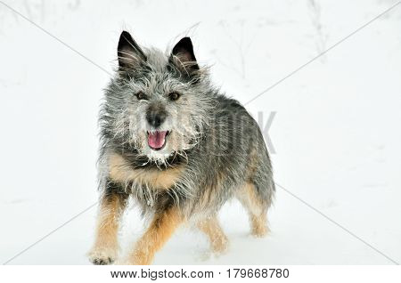 Running dog. Winter. Half-breed terrier, mongrel, female.
