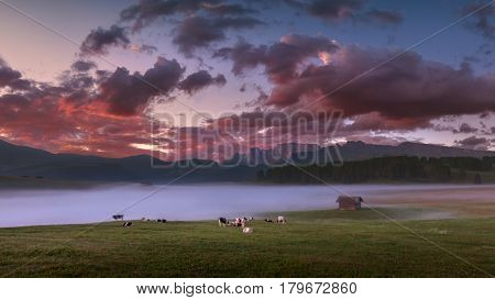 Idyllic sunrise landscape in South Tyrol with cows grazing on fresh green mountain pastures. Alpe di Siusi or Seiser Alm Dolomites - Italy.