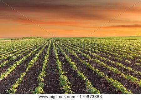 Rows of young soybeans against the red sky at idyllic sunset. Agricultural green fields in early summer season.