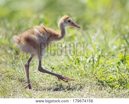 Sandhill Crane Chick walking on grass