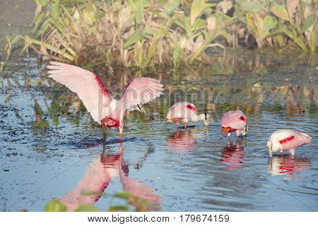 Roseate Spoonbills in the pond