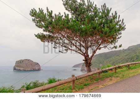 Coniferous green tree cedar on the seashore. The sea in a haze cloudy summer day after a rain the high sea coast