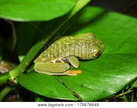 red eyed tree frog (Agalychnis callydrias) on green leaves background