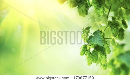 Hop plant close up growing on a Hop farm. Fresh and Ripe Hops ready for harvesting. Beer production ingredient. Brewing concept. Fresh Hop over blurred nature green background with sun beams.
