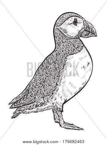 Atlantic puffin. Vintage vector illustration in sketch style