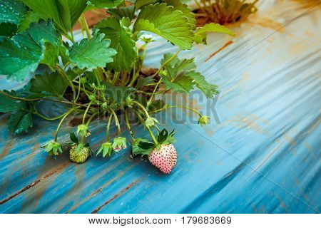 Agriculture farm of strawberry field. Closeup of unripe organic strawberry fruit growing on plantation. Outdoor at the daytime.