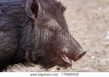 Mammal Pet Pig In A Black Enclosure