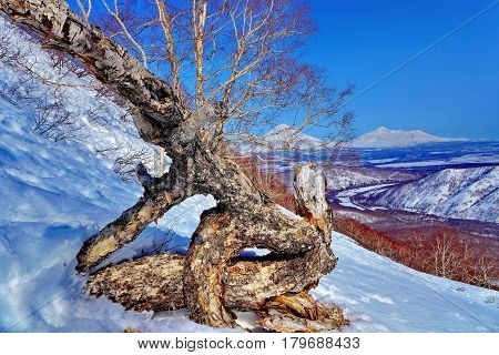 Broken birch on a background of snowy mountains and blue sky. Subpolar Urals, Russia