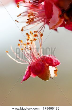 Beautiful Peach Blossom,soft Image And Blur Background,shallow Dof