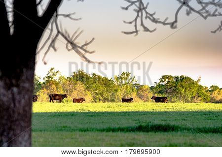 Agricultural background - Cattle on spring pasture during golden hour