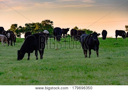Angus crossbred cattle in a green pasture at sundown