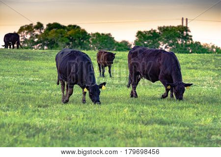 Black Angus cows grazing on green spring pasture at dusk in Alabama