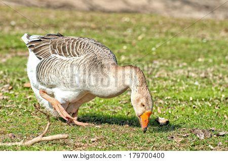 Domestic Goose,grey Gose Or Greylag Goose.( Anser Anser).